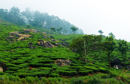 kerala: Tea plantation in haze, Kerala, South India Stock Photo