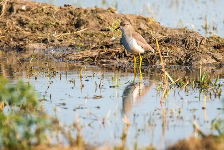 spur winged: White tailed lapwing, Sultanpur park Stock Photo