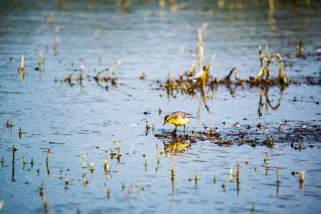 motacilla: Motacilla flava - Motacilla flava en el estanque