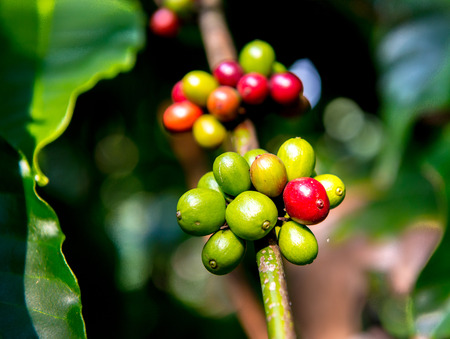 south india: Coffee plantation in South India Stock Photo
