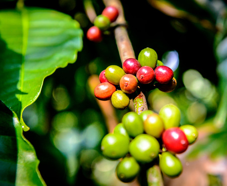 coffee harvest: Coffee plantation in South India Stock Photo