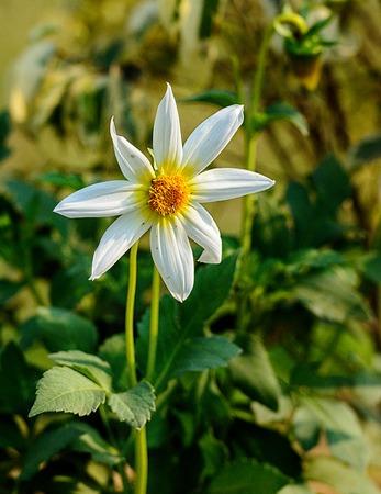 carpel: White Dahlia or Georgina with yellow carpel