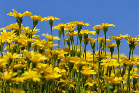 Yellow dandelions on blue sky background