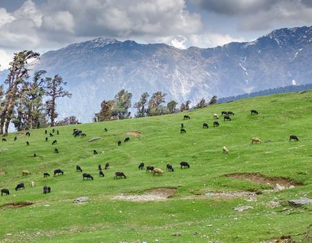 Sheeps herd on gentle slope in Himalayas Stock Photo