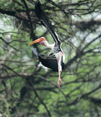 Painted stork landing on a tree branch