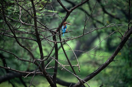 Common Kingfisher hiding inside forest tree Stock Photo