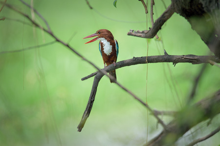 Common Kingfisher bird perched on a tree looking left