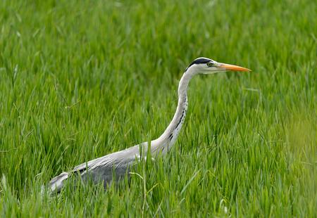 Grey heron bird hiding in green grass