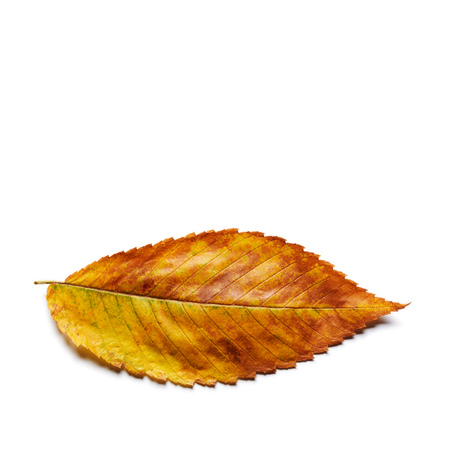 Radiant golden yellow brown elm leaf isolated on white. Stok Fotoğraf