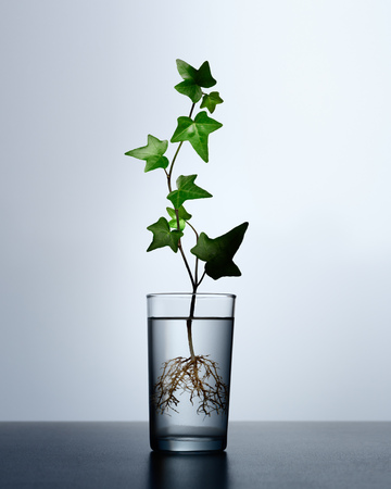 Conceptual photo-illustration of ivy plant sprouting  roots in glass of water Stock Photo