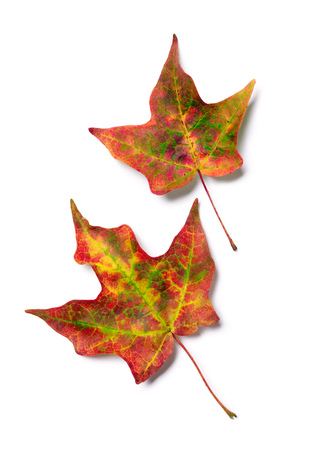 Brilliant fall colors on pair of autumn maple tree leaves isolated on white background Stock Photo