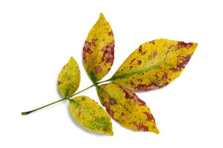 흰색 배경에가 색상 화산재 잎 근접 촬영