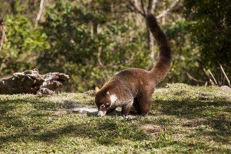 Closeup view of a Costa Rican coati looking for some food in the wild. His large furry tail points in the sky while his nose is down eating grain off of the ground.