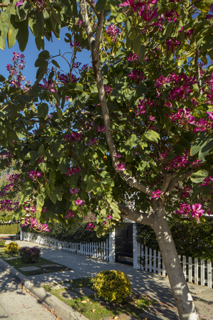 A blossoming tree in Spring with a white picket fence in front of a home in California