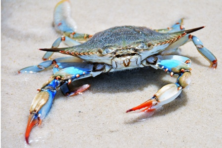 crabs: Blue crab on a white sand beach Stock Photo
