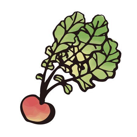 vegetable - radish watercolor