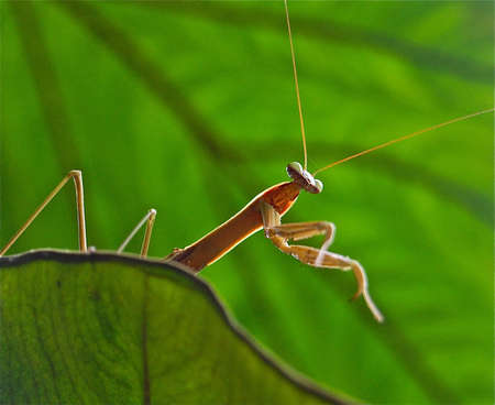 mantodea: Praying mantis perched on elephant ear Stock Photo
