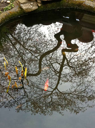 acer palmatum: Japanese lace leaf weeping maple tree is reflected on glassy surface of backyard goldfish pond Editorial