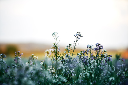 Field planting at sunset. white and lila purple flowers in the front, detail with bokeeh