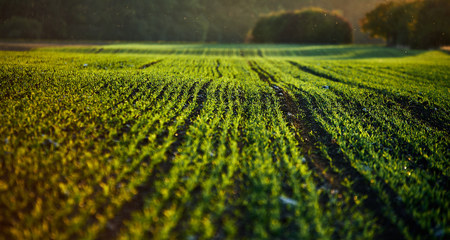 corn field on an autumn evening on sunset while the sun is flareing into the lense with dust particles, warm and green harmful colors on a agriculture field