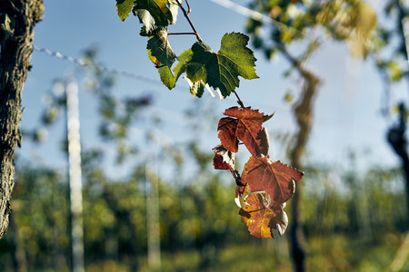 red vine leafs on vineyard. Detailed view of the leaf on sunset with bokeh, sun is shining through.