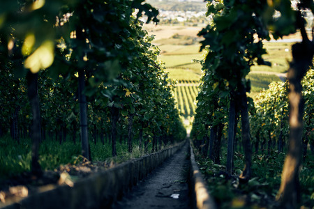 Narrow steep path with steps down a beautiful vineyard between vine leafs going down to town.