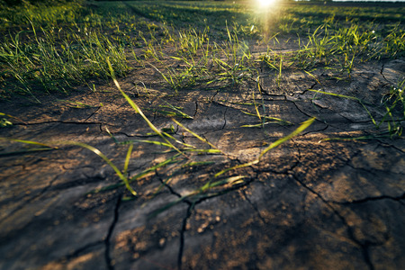 Young corn field in brown soil at sunset in detail bokeh view. green and brown warm look on evening wide angle shot with long small shadows