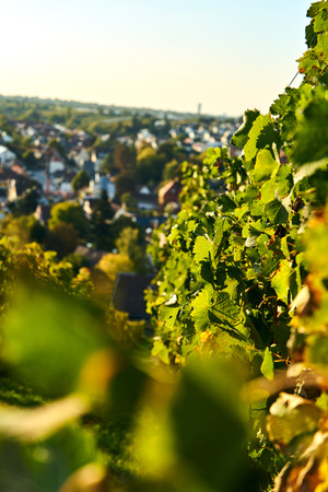 sunset vine leaves on vineyard. Detailed focus view of the leaf on calm warm tone autumn color