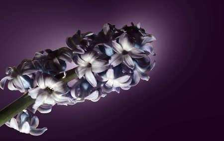 hyacinthus: Hyacinthus
