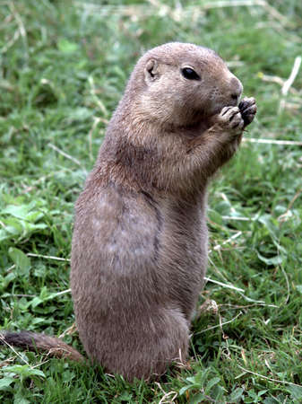 Gopher Sitting In The Grass And Eating Something Stock Photo - 3604878