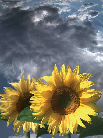 Thunderclouds and two sunflowers in the foreground
