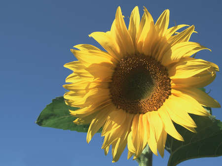 A clear blue sky and a sunflower in the foreground