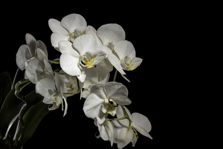 The image shows an orchis over black background photo