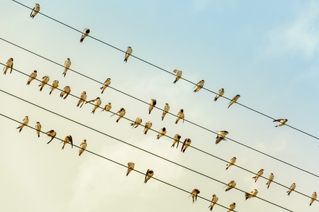 Swallows on a wire - power line - in the evening sun