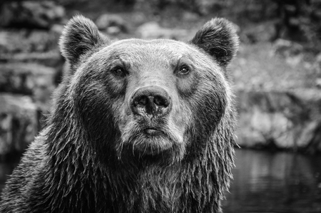 Portrait of big brown grizzly bear looking at the beholder
