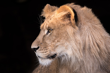 Young lion in profile