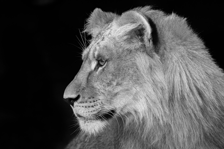 Young lion in profile - black and white Banco de Imagens