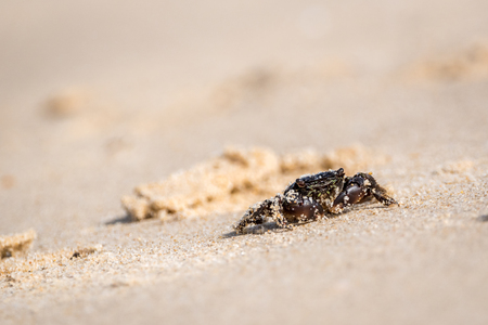 Small dark crab in the sand covered with sand grains