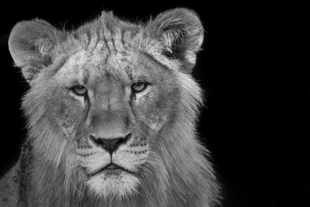 Young lion stare down - black and white Banco de Imagens