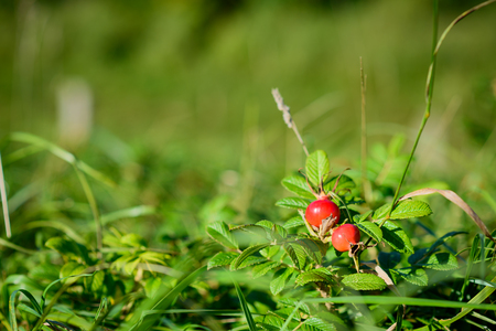 Beautiful rosehips in a field of green Banco de Imagens