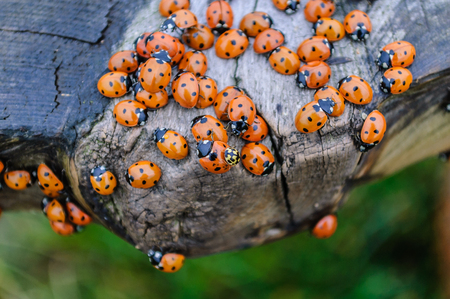 Lots of lady bugs on a wooden bench
