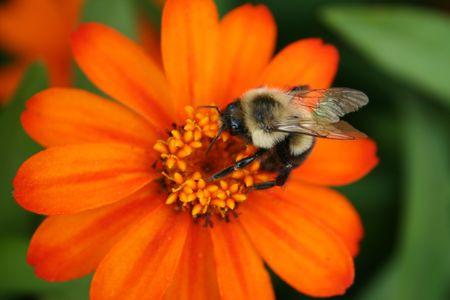 Bee on orange flower photo