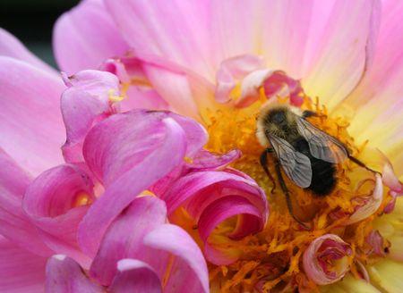 Bee on pink flower Фото со стока