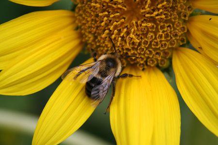 Bee on Yellow Flower  Banco de Imagens