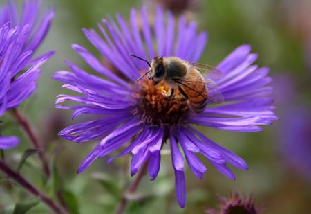 honey bee on purple daisy Banco de Imagens