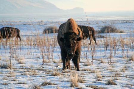 Bison on Antelope Island Utah Reklamní fotografie - 2563262