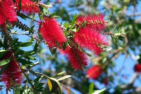 callistemon citrinus: Bottlebrush Tree