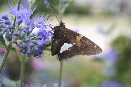 Silver-spotted Skipper 473 Stockfoto