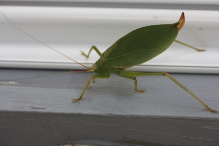 foreleg: Katydid Stock Photo