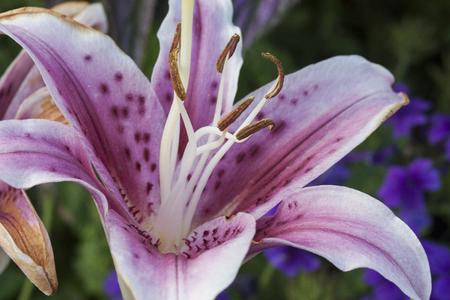 stargazer lily: Stargazer Lily